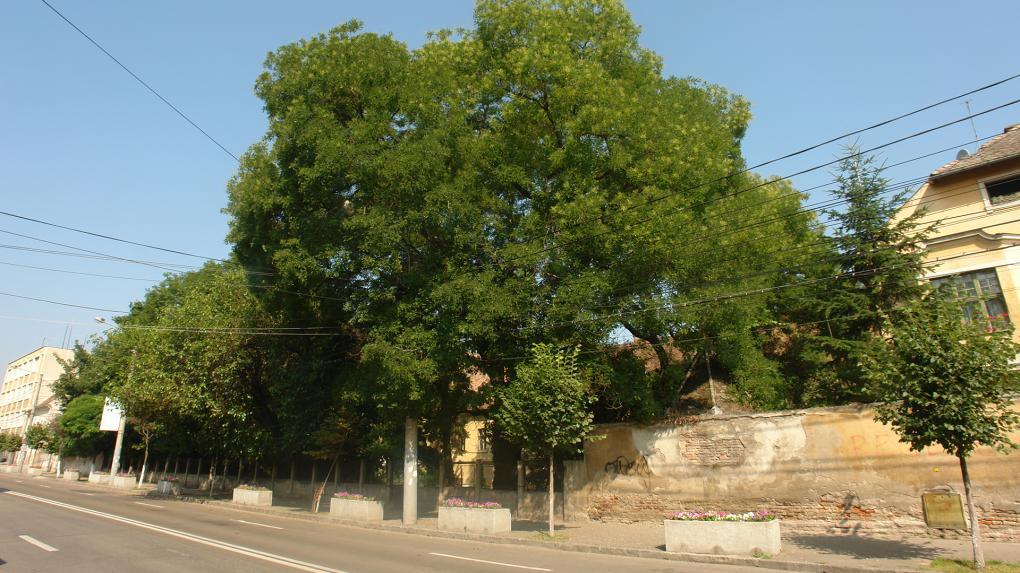Urbanisztikai és kulturális jelentősége van az öreg fáknak