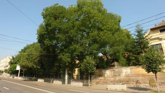Természetvédelmi katasztrófa a Petőfi utcai akácirtás