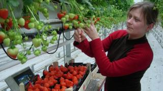 Holland mintára termesztenek gyümölcsöt
