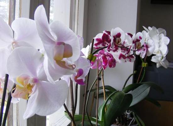Tavaszi orchideakiállítás Vajdahunyad várában