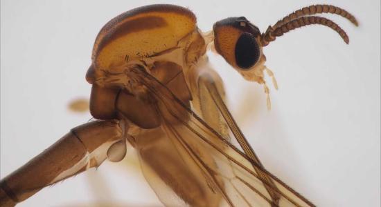 BBTE-s kutató új szúnyog- fajok felfedezésében