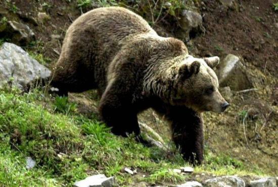 Két fiatal pásztort sebesített meg medve Csíkszereda határában