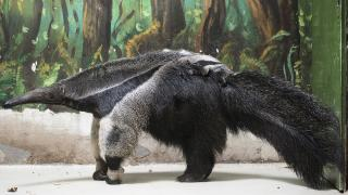 Sörényes hangyász született a Nyíregyházi Állatparkban
