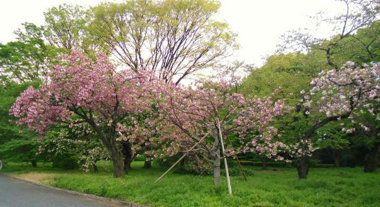 Japán cseresznyevirágzás idején
