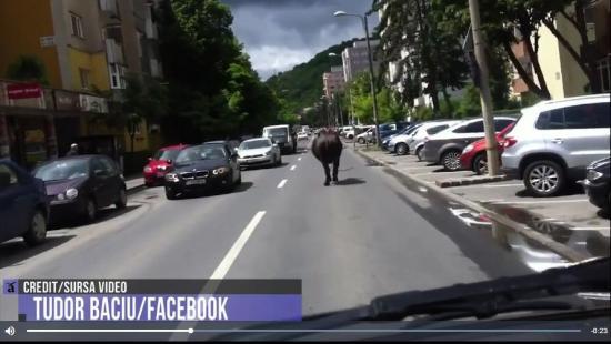 VIDEÓ - Rémült bivalyt kergettek Kolozsváron