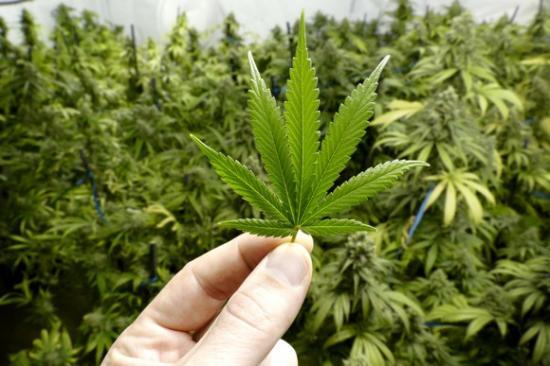 Izraelben már nyíltan kereskednek a marihuánával