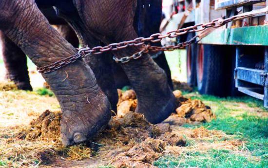Mostantól törvény tiltja a vadállatok szerepeltetését cirkuszokban