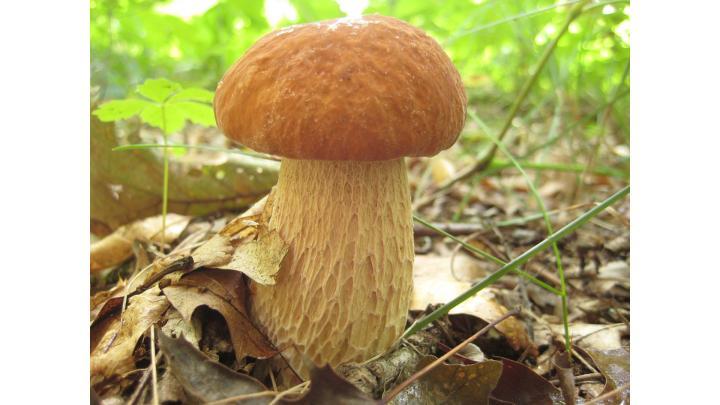 Gyógyítani gombával is lehet