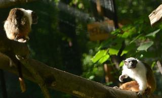 Párt kapott a csupaszpofájú tamarin a Szegedi Vadasparkban