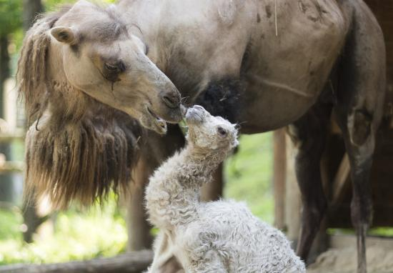 Kétpúpú tevekanca született a Nyíregyházi Állatparkban