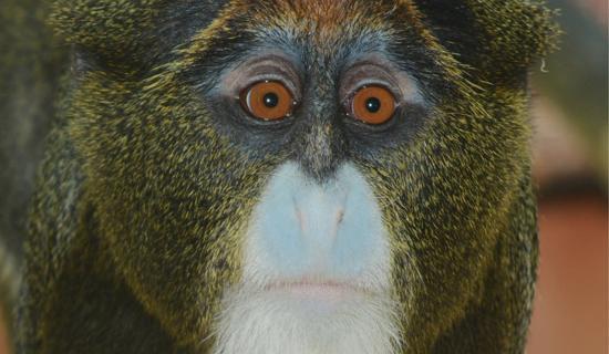 Szakállas majmok érkeztek
