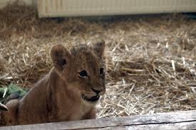 Elpusztult a nagyváradi állatkert kisoroszlánja