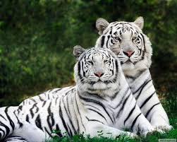 Két fiatal fehér tigris mart halálra egy gondozót egy dél-indiai vadasparkban