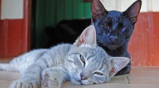A macska is lehet parvós?