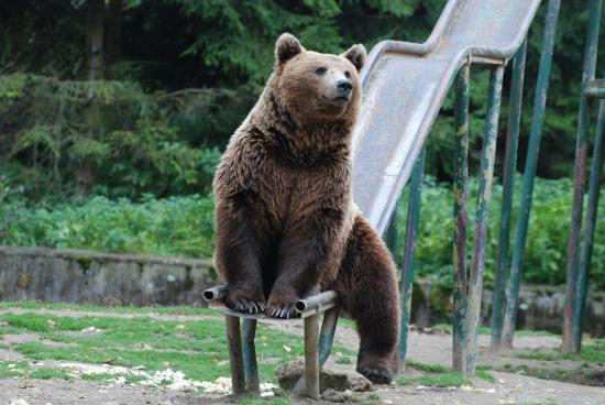 """A """"sétáló medvék"""" kilövésére kérnek engedélyt a Brassó megyei erdészek"""