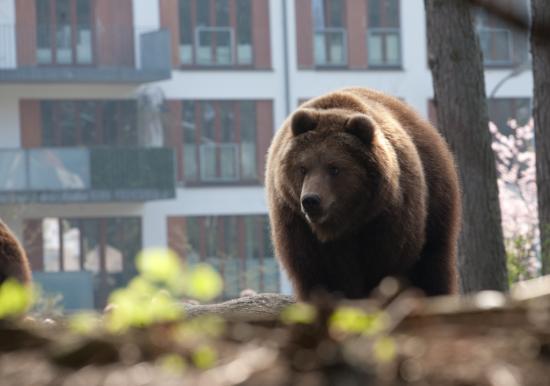 Az utcán támadt a medve Fogarason