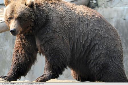Újabb medvetámadás történt Brassó megyében