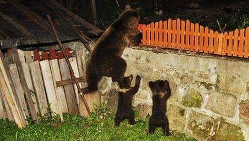Újabb levélben kérte Borboly Csaba a medvék kilövésének engedélyezését