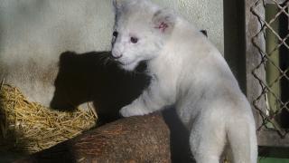 Amali, a kis fehér oroszlán – egyben vadasparki sztár?
