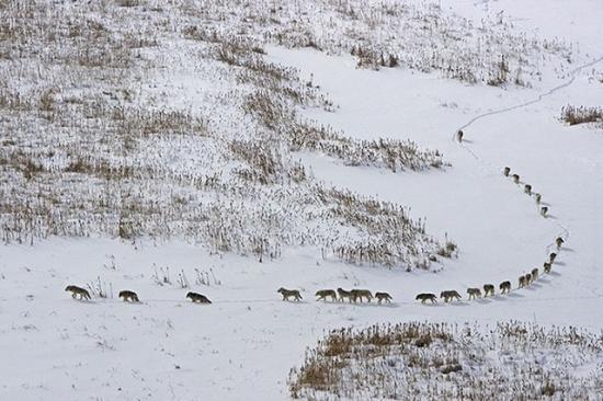 Farkasfalkát filmeztek a Királykő Nemzeti Park egyik erdejében