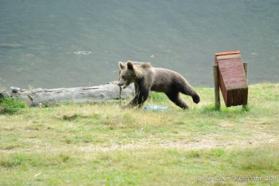 Medve támadott meg egy magyarországi zarándokot a Szent Anna-tónál