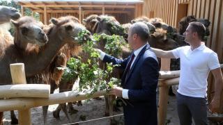 Kétezer négyzetméteres tevekifutót adtak át a Veszprémi Állatkertben