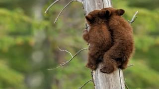 Árván maradt medvebocsokat mentettek meg