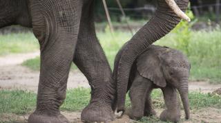 Újabb afrikai elefánt született a Nyíregyházi Állatparkban
