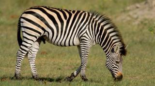ELTE-s kutatók terepkísérlettel cáfolták a zebracsíkok régóta feltételezett hűtő hatását
