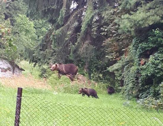 Medvecsaládot fényképeztek a csíkszeredai sürgősségi megyei kórház közelében