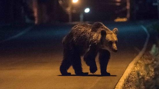 Engedélyezte a környezetvédelmi miniszter a veszélyes medvecsalád áttelepítését