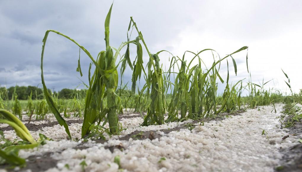 Helyenként a jégeső okozott kárt a növényzetben