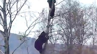 Fára másztak a medve elől