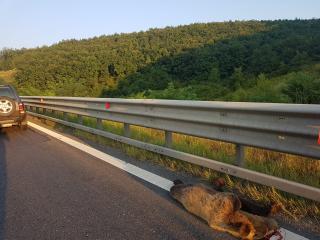 Újabb medvét gázoltak halálra az A1-es ...