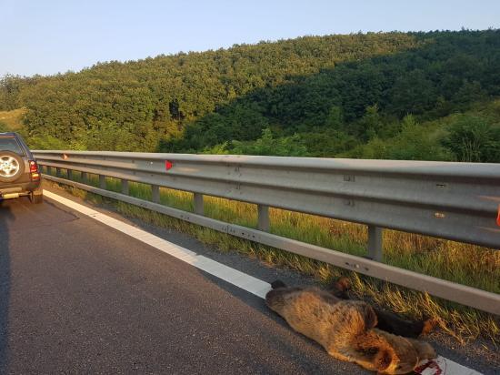 Újabb medvét gázoltak halálra az A1-es autópályán