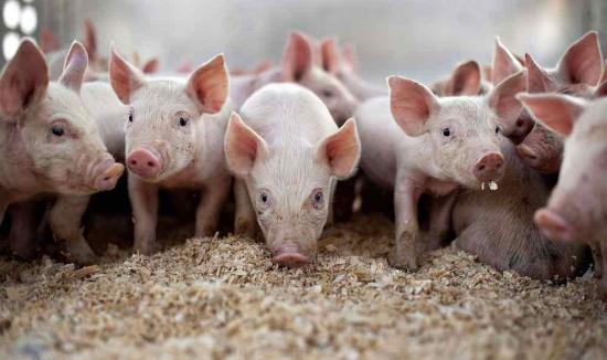 Románia legnagyobb sertésfarmján igazolták a sertéspestis vírusát