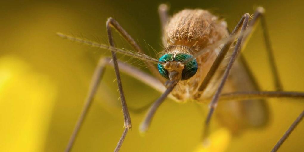 A járványt a szúnyogok terjesztik