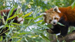 Vörös panda érkezett a Szegedi Vadasparkba