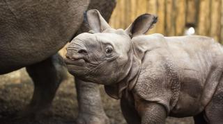 Indiai páncélos orrszarvú született a Nyíregyházi Állatparkban