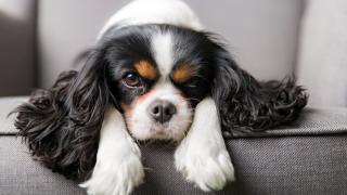 A kutyák szívbetegségei