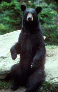 Medvét gázolt a teherautó