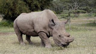 Újabb kutatás erősítette meg, hogy a mesterséges megtermékenyítés megmentheti az északi szélesszájú orrszarvút
