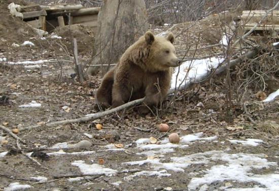 SMS-ben figyelmeztetnek, ha medve jár Brassó utcáin