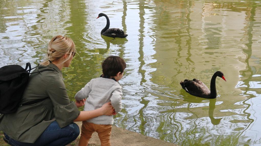 Egyes kultúrákban a fekete hattyú a balsors jelképe, Kolozsváron azonban a békés együttlété