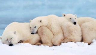 Szükségállapot jegesmedve-invázió miatt Oroszországban