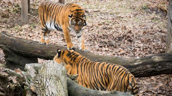 Nőstény szumátrai tigris érkezett a Nyíregyházi Állatparkba