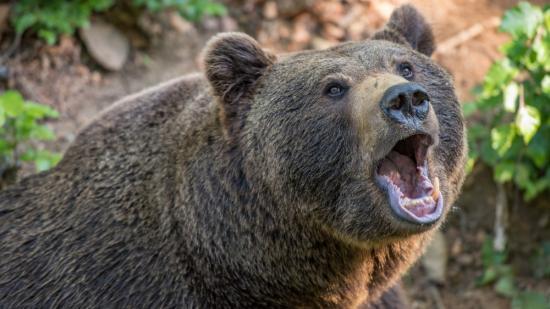 Halálos medvetámadás Székelyföldön (FRISSÍTVE)