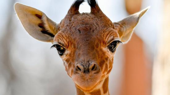 Zsiráf született a debreceni állatkertben