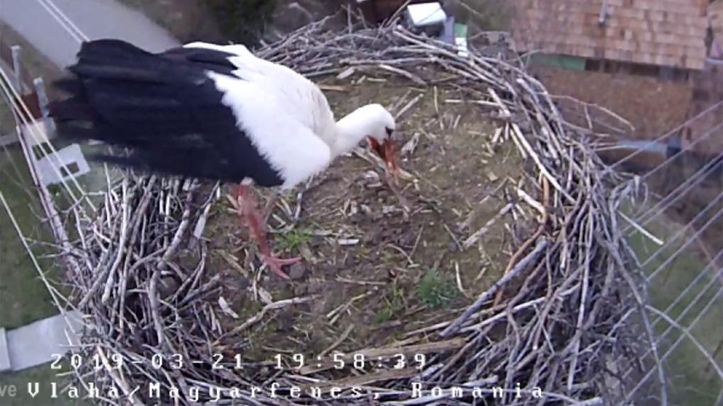 Egy hét múlva akár az első tojásnak örvendhetünk