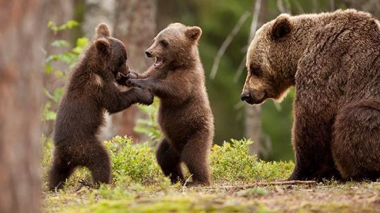 Rendőrség: Az áldozat hergelte a medvét